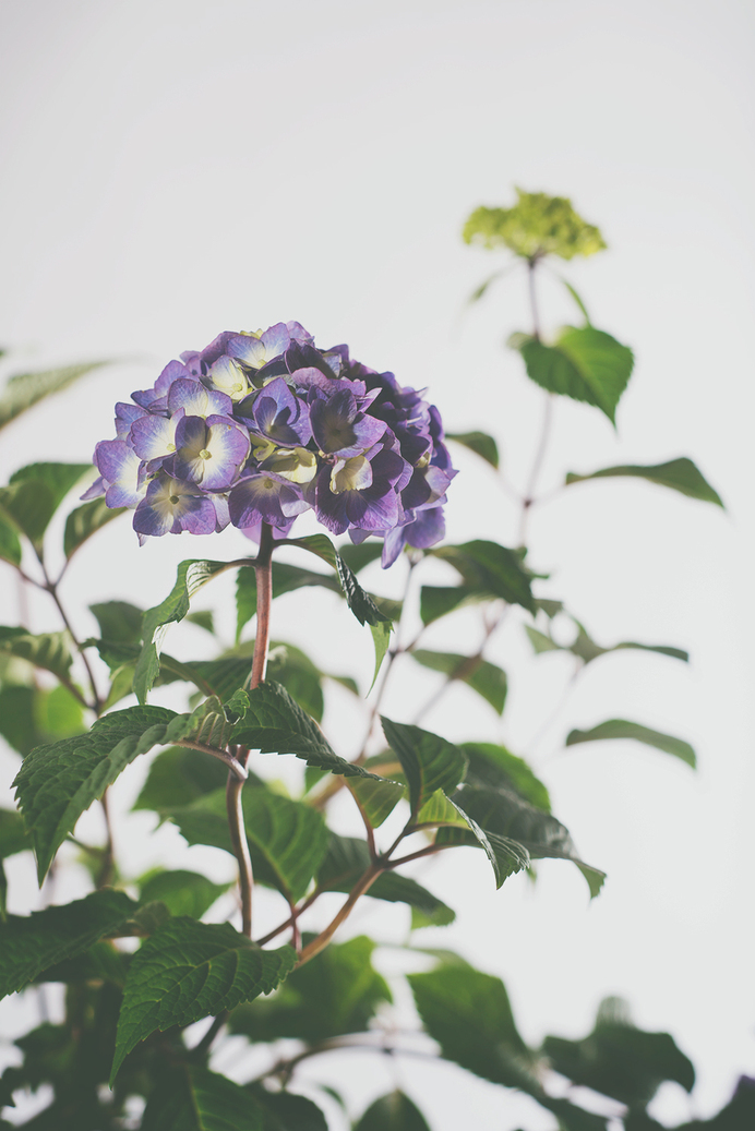 hydrangea8